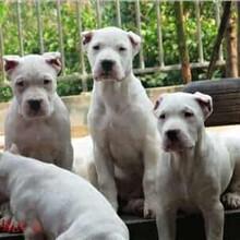 福建杜高犬养殖基地批发图片