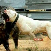 北京杜高犬养殖场直销图片