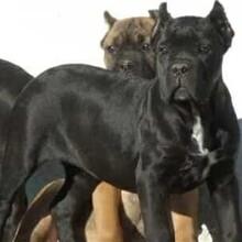 吉林卡斯罗犬养殖基地直销图片