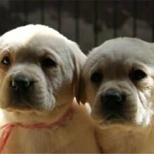 福建拉布拉多犬价格图片