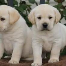 吉林拉布拉多犬批发价格图片