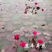 睡莲种苗,印度红睡莲种苗