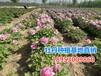 觀賞牡丹花苗批發價格是多少菏澤牡丹基地