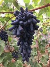 哈密正宗甜蜜藍寶石葡萄苗供應商圖片