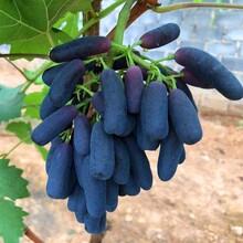 新疆正宗甜蜜藍寶石葡萄苗種植價格圖片