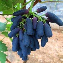 哈密正宗甜蜜蓝宝石葡萄苗种植基地图片