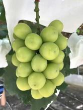烏魯木齊陽光玫瑰葡萄苗種植技術圖片