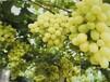 哈密陽光玫瑰葡萄苗供應商