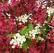 樂陵北美海棠苗木價格