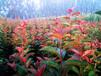 菏澤彩葉海棠種植方法
