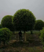 江蘇桂花基地種植金桂