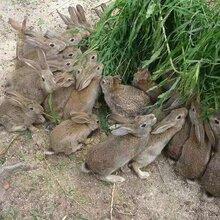 新余杂交野兔养殖场批发图片