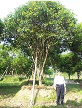浙江桂花树图片
