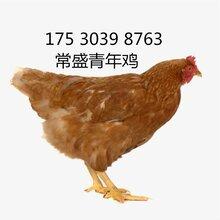 安徽罗曼褐青年鸡养殖基地常盛蛋鸡青年鸡罗曼褐批发图片