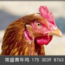 河南常盛蛋鸡青年鸡养殖场鹤壁蛋鸡青年鸡的发源地图片