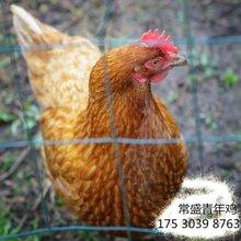 常盛蛋鸡青年鸡养殖场现货供应质优价廉60日龄罗曼褐青年鸡图片