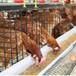 張家口海蘭褐青年蛋雞張家口海蘭褐脫溫蛋雞張家口海蘭褐育成蛋雞
