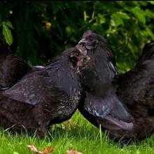 常盛禽業五黑雞買2千只送飼料全國70天五黑雞每只15元起售圖片
