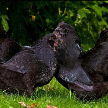 新楊黑羽青年雞十堰新楊黑青年雞節糧型新楊黑小型蛋雞