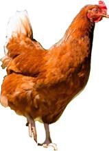 恩施海蘭褐育成雞營養供給海蘭褐育成雞對鈣的要求圖片