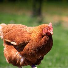 周口海蘭褐青年雞廠家周口海蘭褐青年雞價格周口海蘭褐圖片