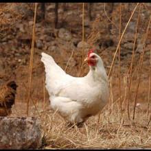 湛江海蘭灰青年雞參考價70天海蘭灰青年雞淡季價格圖片