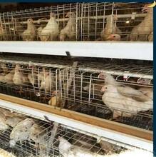 安徽農大3號青年雞節糧矮小型蛋雞農大3號青年雞平均蛋重50克圖片
