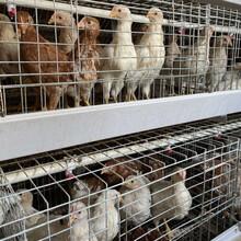 廣西70天農大3號青年雞就可以上蛋雞籠了圖片