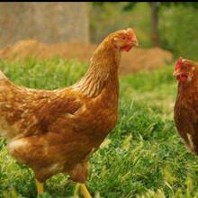 国产蛋鸡品种京红1号产蛋率高永州京红1号青年鸡饲料转化率高图片