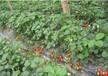 三明建宁草莓苗价格