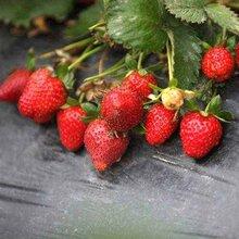 葫芦岛连山区当年挂果草莓苗品种大全图片