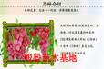 葡萄樹苗價格批發優質、附近玫瑰香葡萄苗基地