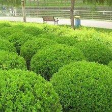 陕西生产黄杨生产厂家图片