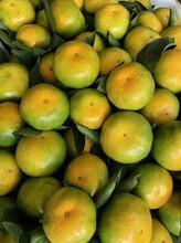 云浮东江湖蜜橘种苗销售图片