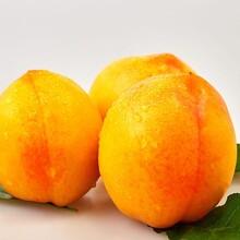 潮州黄桃种植基地图片