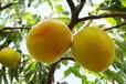湖南黃桃批發價格