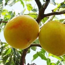 潮州黄桃种苗价格图片