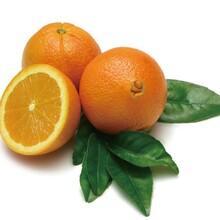 惠州脐橙种苗价格图片