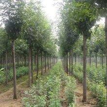 石家庄绿化苗种植价格图片