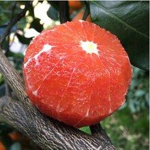 秭归脐橙新鲜水果精品包装招代理批发商网络销售足够利润