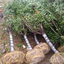 抚州红梅种苗价格图片