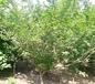 南平紅梅種苗批發