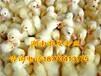 优质鹅苗批发杂交大种鹅苗供应四季鹅苗价格