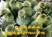 优质鹅苗批发大种灰鹅苗价格杂交灰鹅苗供应