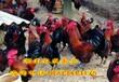 贵州土鸡苗哪里有卖青脚血毛土鸡苗批发血毛土鸡苗价格