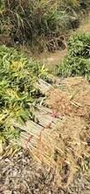 湛江无患子苗种植地图片