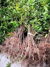 南京木荷苗种植地图片