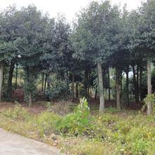 莆田杜英苗種植地圖片