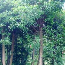 孝感杜英苗种植园图片