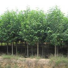随州乐昌含笑苗种植园图片